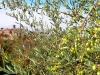 Italien-Olivenbäume-Paolo-Gianfelici (2)