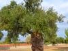 Italien-Olivenbäume-Paolo-Gianfelici (4)