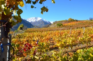 Saint-Pierre: Weinberge, im hintergrund die Alpen Zum Vergrößern: Klick auf das Foto