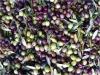Oliven - eine der Kostbarkeiten Italiens