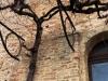 Umbrien. Montefalco. Im Jahr 1840 gepflanzte Sagrantino-Rebe
