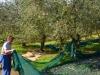 Italien-Olivenbäume-Paolo-Gianfelici (3)