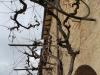 der-historische-weinstock-in-montefalco-pflanzung-im-jahre-1840
