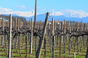 Weinberge, im Hintergrund der Bogen der Alpen
