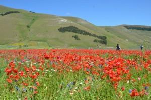 Castelluccio, die Blüte der Linse